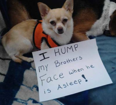 2 dog shaming pictures of 2 dogs, little pooch humps a beagles face