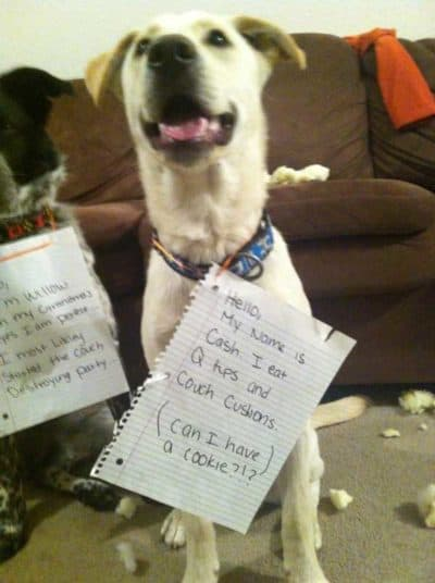 4 pictures of 4 dogs who destroyed a couch, Cash who eats q-tips and sofas