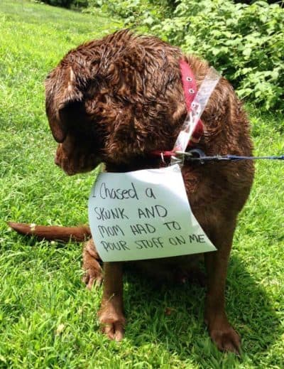 dog shaming pics with a poor canine got sprayed by skunk
