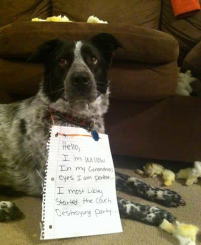 dog shaming pics with 4 pictures of 4 dogs who destroyed a couch, Willow the sofa destroyer