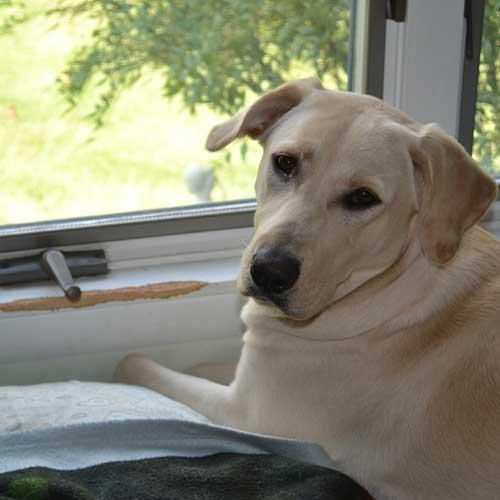 Yellow Labrador ate the house