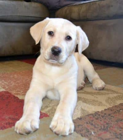 8 week picture of Labrador puppy Cali