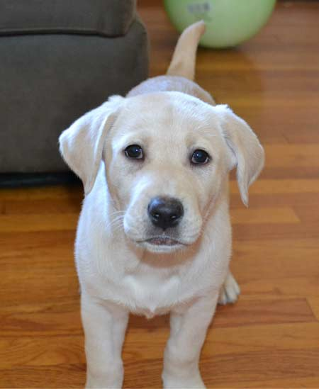 Little Yellow Labrador Puppy Cali 8 weeks old