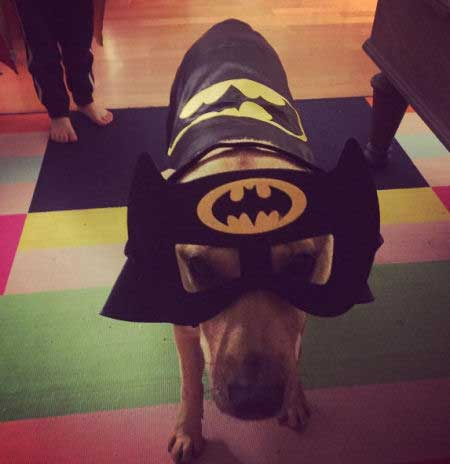 Canine disguised as Batman
