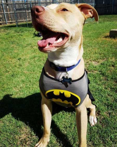 Canine in Batman attire