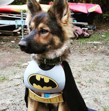 German Shepard dressed as Batman