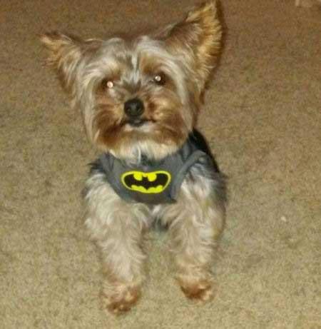 little pooch dressed in batman shirt