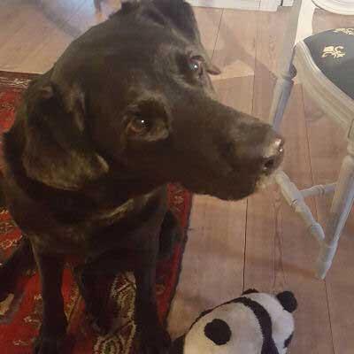 Labrador retriever begging for food