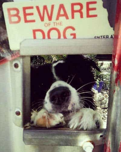 Beware of Dog Sign pictures with a canine sticking his head through view box under a sign