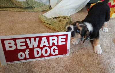 Beware of Dog Sign pictures with a little pooch eating a sign