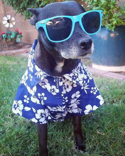 Pictures of Cool Dogs showing pooch dressed up in Hawaiian shirt and sunglasses