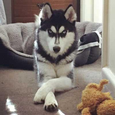 sweet posing husky