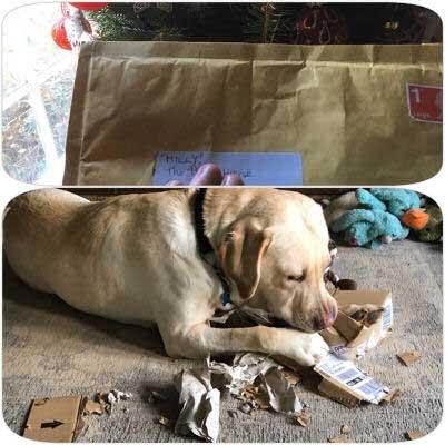 Labrador destroys the mail