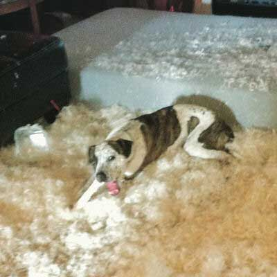 Dog Bed Destruction!feather pillow destroyed