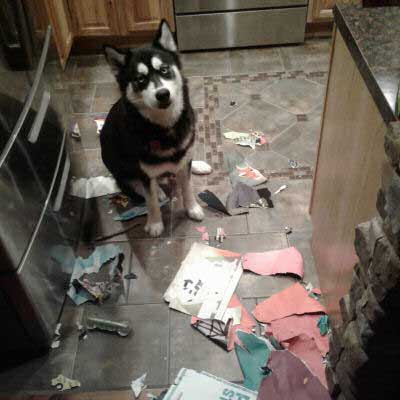 Hilarious Dogs with a husky who destroyed the trash