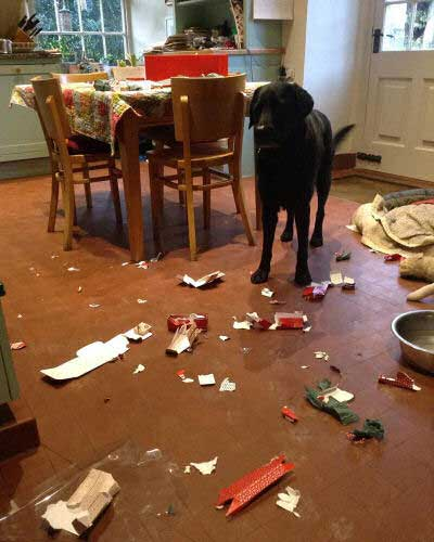 Hilarious Dogs with a Black Labrador got into something