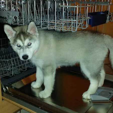 pictures of Husky Puppies on dishwasher