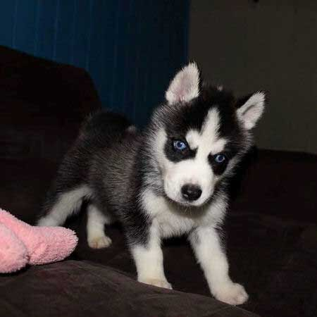 husky puppy on the sofa