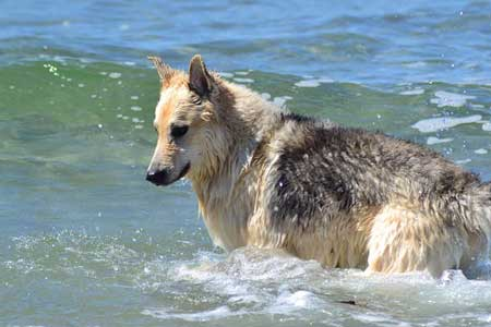dogs at the beach with a canine in the ocean break