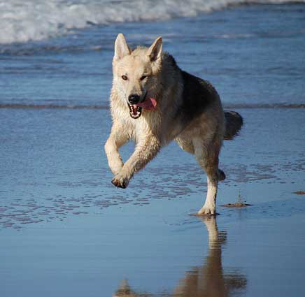 dogs at the beach with a cool looking canine running on the beach