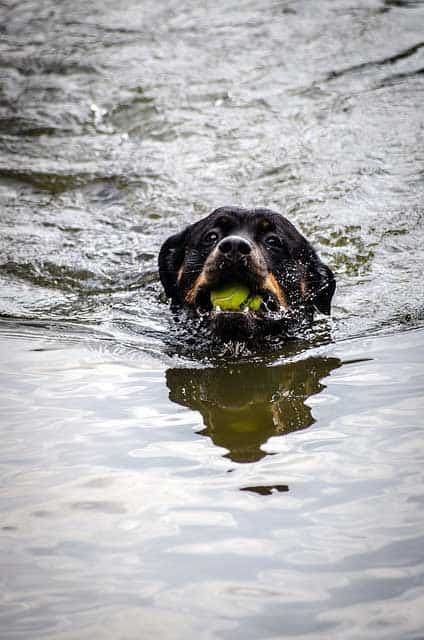 Rott swimming with tennis ball