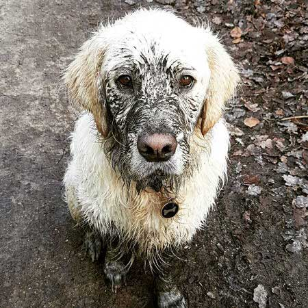 yellow canine is very dirty
