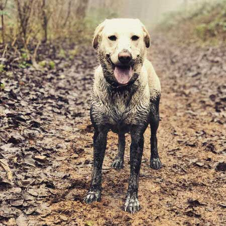 dirty dogs with a yellow Labrador who just played in the mud