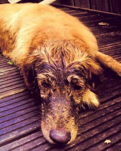 dog with mud on his face
