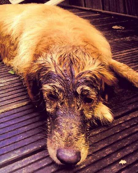 A retriever with mud on his face looking miserable