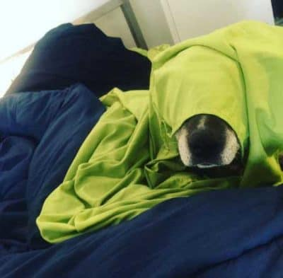 funny dog picswith a canine hiding under a blanket looking embarrassed