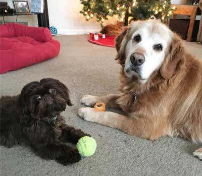 big dogs and little dogs hanging out with their tennis balls under the Christmas trees.
