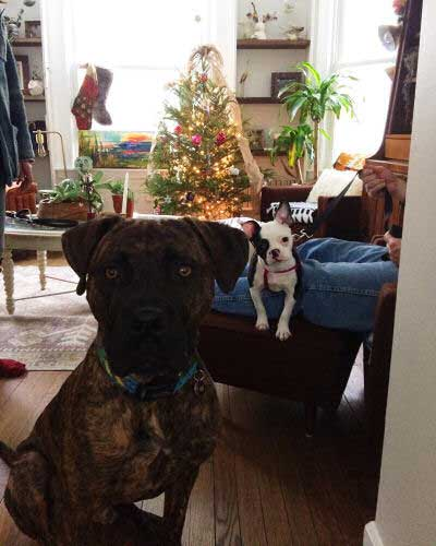 big dogs and little dogs inside at Christmas