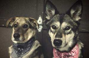cool dogs dressed like western canines with handkerchiefs and a sepia finish