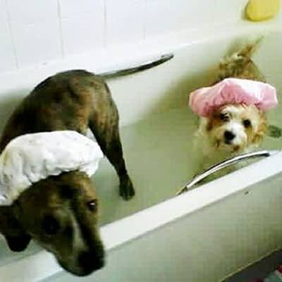 two funny dogs in the bath with shower caps