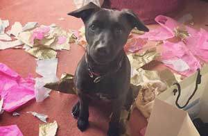 puppy destroyed wrapping paper for funny dogs post
