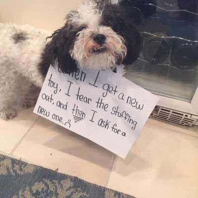 dogshaming with a dog who kills stuffed animal toys