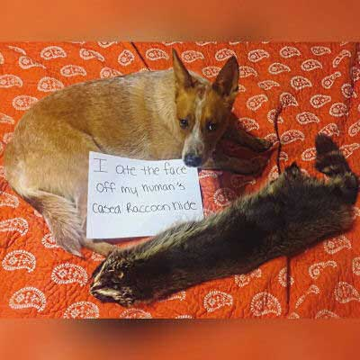 dogshaming with a canine eats Raccoon hide