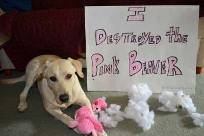 Yellow Labrador Cali destroyed her pink beaver stuffed animal