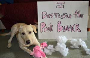 dog shaming of a Labrador who destroys a toy beaver