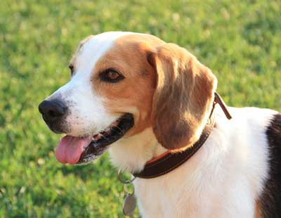 Beagle Picture of Smiling Dog