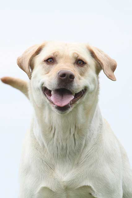 smiling dog picture of a Labrador