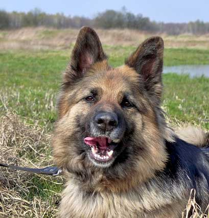 GSD smiling