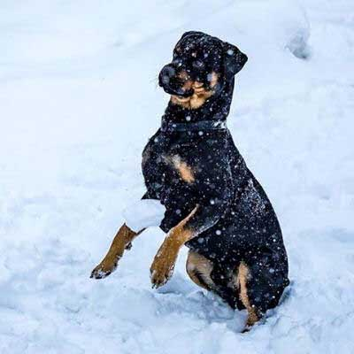 canine in a snow ball fight