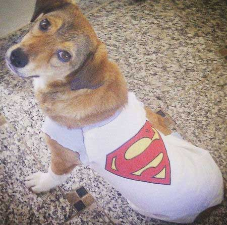 pooch in a superman t-shirt