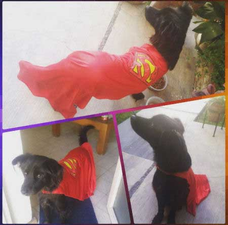 Super Dog Pictures with a canine in a Superman cape