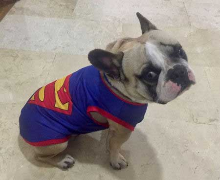Super Dog Pictures with a canine in a superman tank top