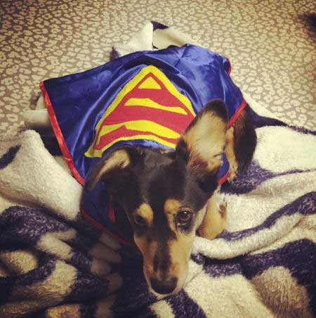 Super Dog Pictures with a pooch laying down in a superman cape