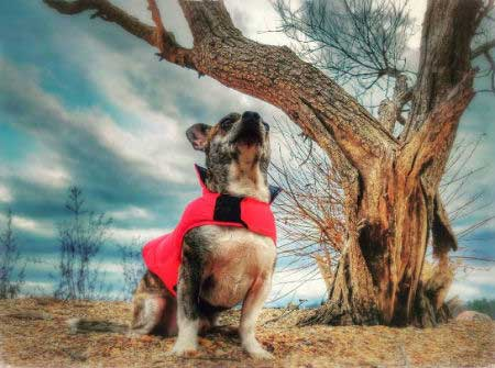 Super Dog Pictures with a canine in a cape looking into the sky