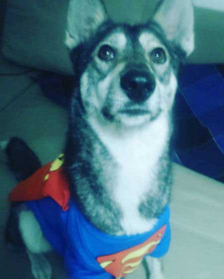 canine in a superman t-shirt and cape