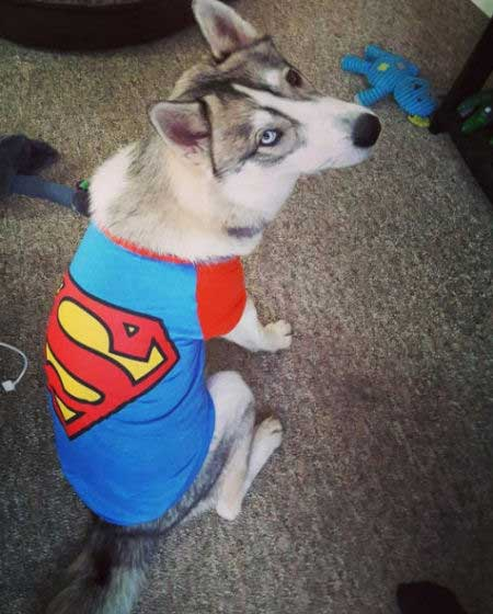 Super Dog Pictures with a husky in a superman t-shirt